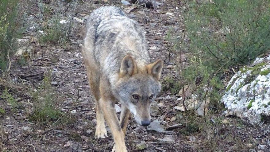 ¡El lobo es solo el principio, incautos!