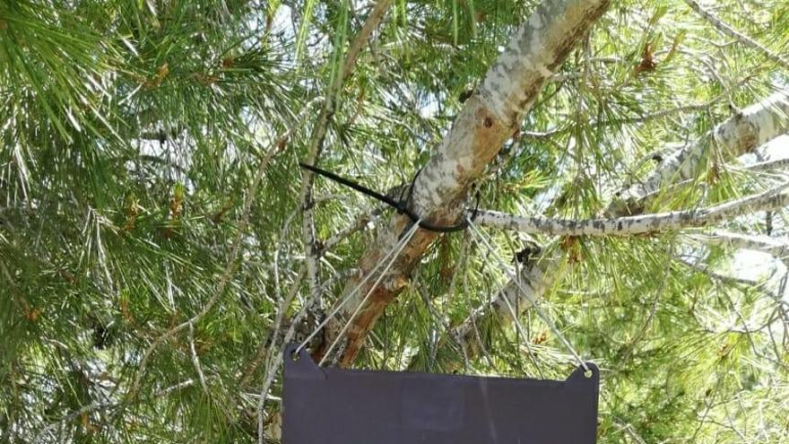 Bullas inicia un control biológico de la procesionaria del pino