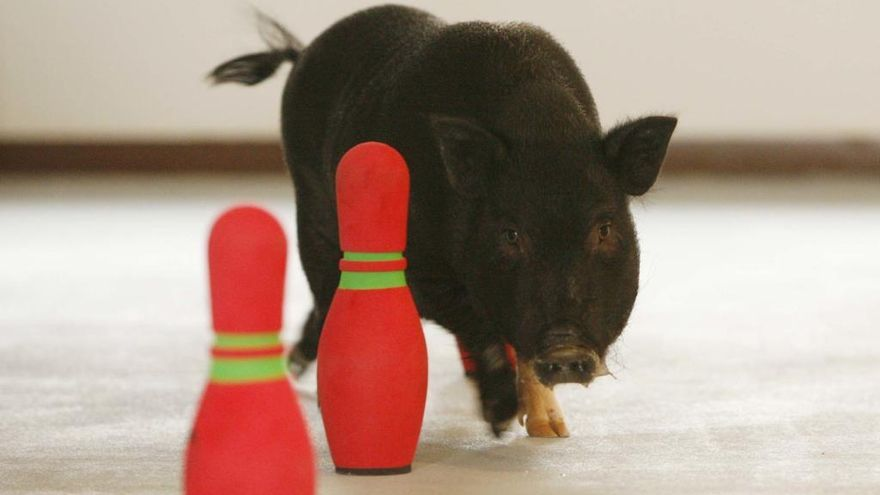 ¿Qué deben hacer los propietarios de cerdos vietnamitas?