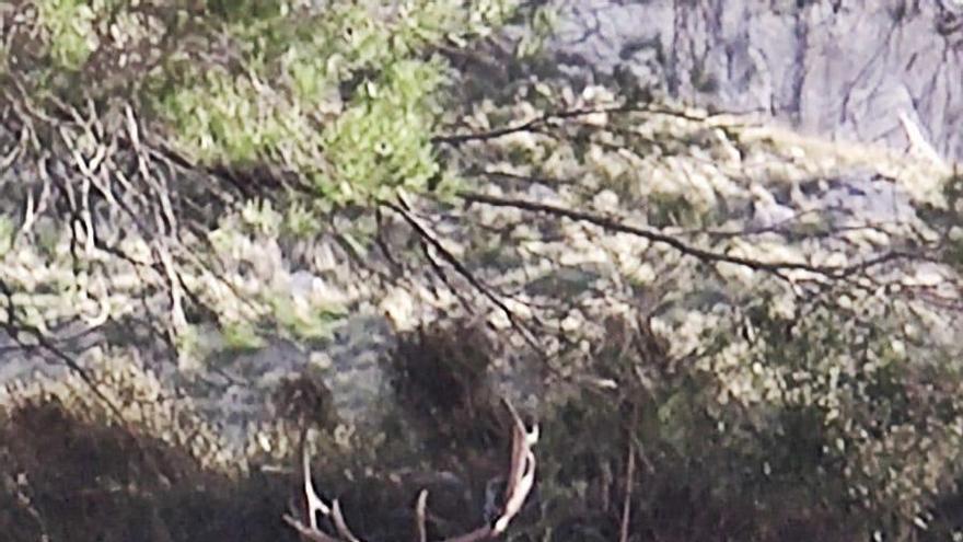 Ausgebüxte Hirsche vermehren sich unkontrolliert auf Mallorca