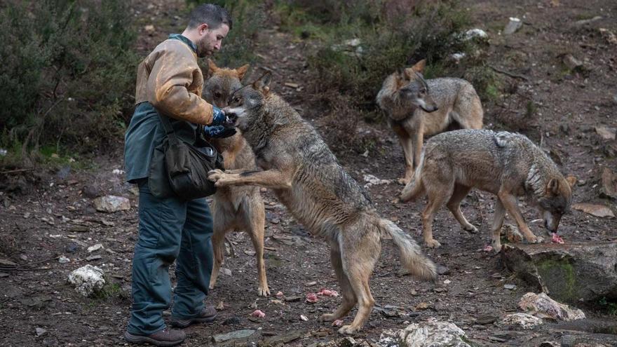 El Centro del Lobo de Castilla y León, escaparate de la gestión para su conservación