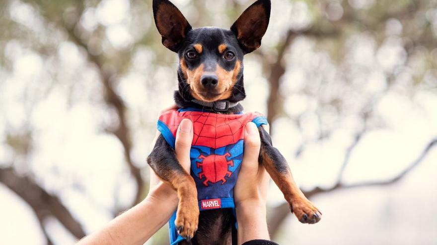 Las mascotas se visten de Spiderman