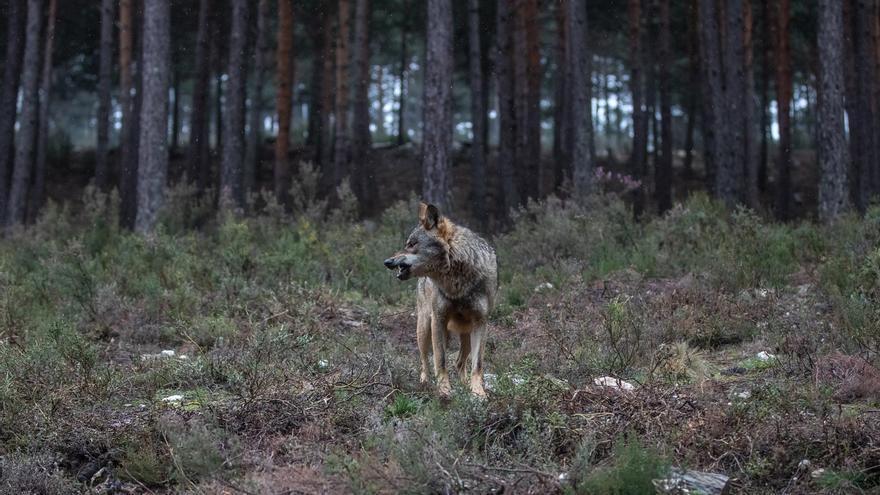 """Ecologistas de WWF, contra la caza del lobo: """"La actual gestión se basa en la persecución"""""""