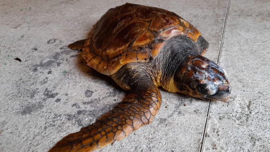 Rescatan una tortuga con una aleta amputada que varó en una playa de La Palma