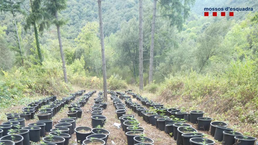 Descobreixen un cultiu de 500 plantes de marihuana ocult en un bosc d'Osor