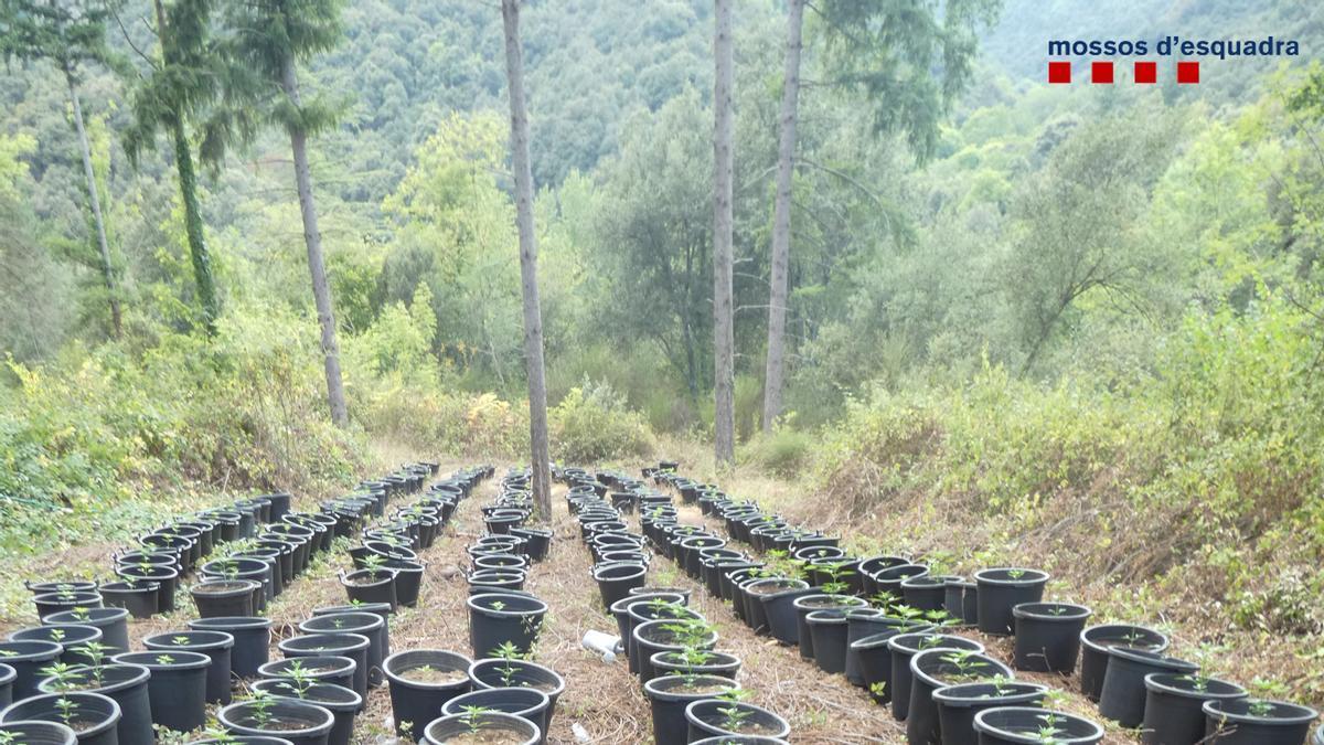 La plantació de marihuana d'Osor
