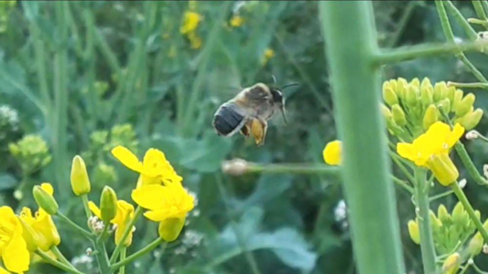 Cardona. Quan la tarda cau se sent el soroll dels insectes fent la pol·linització. En un camp de colza el nostre lector va poder fotografiar aquest abellot.