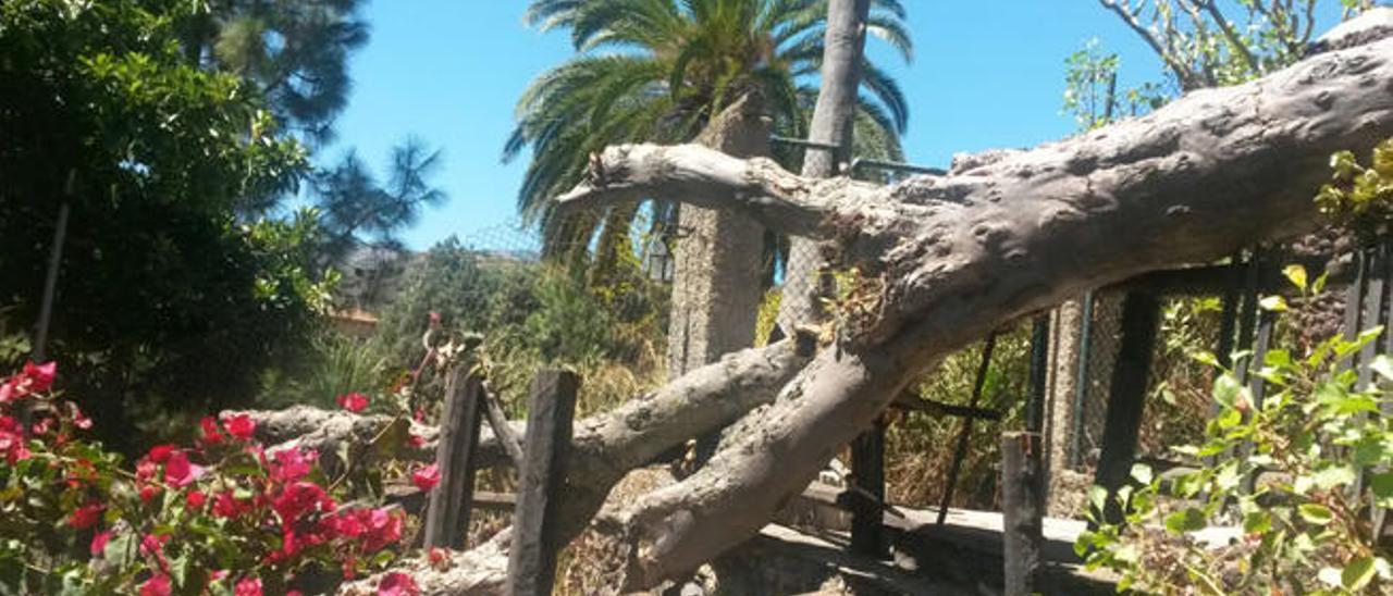 Cae el drago de Las Meleguinas, uno de los más viejos del mundo con 490 años