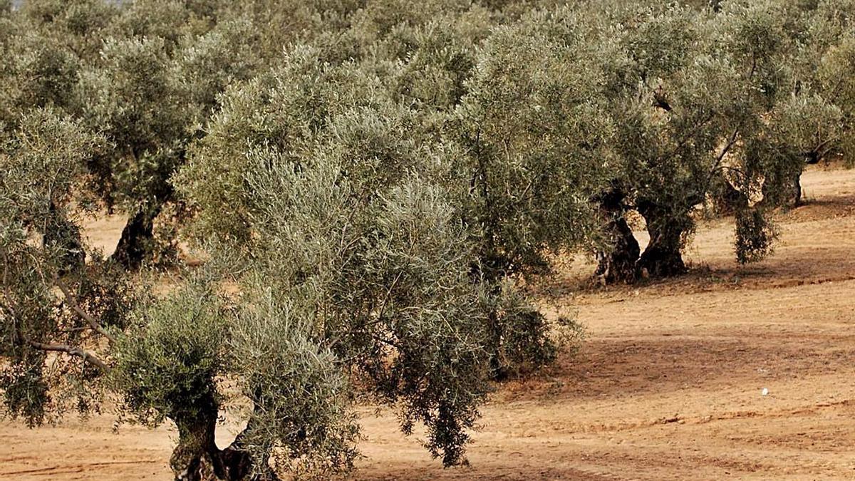Vista de un olivar de la provincia de Córdoba.