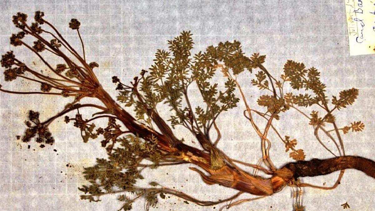 Una mostra vegetal de l'herbari d'Artur Blasco, que s'obrirà  pròximament a la consulta | DEP CULTURA