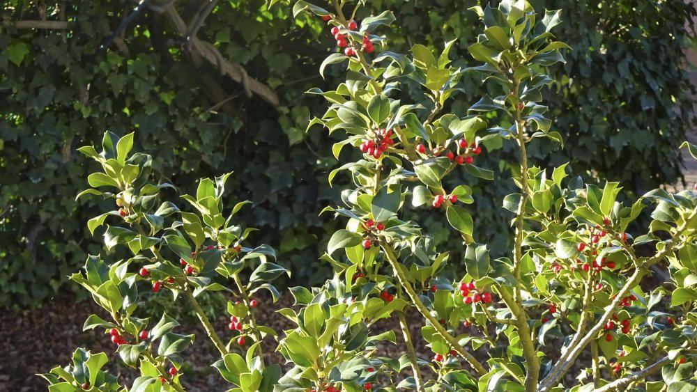 Arbust. Una planta de grèvol, plena de baies vermelles. Aquests dies aquest arbust està en plena floració, ja que és una planta que en aquesta època de l'any està en tota la seva esplendor.