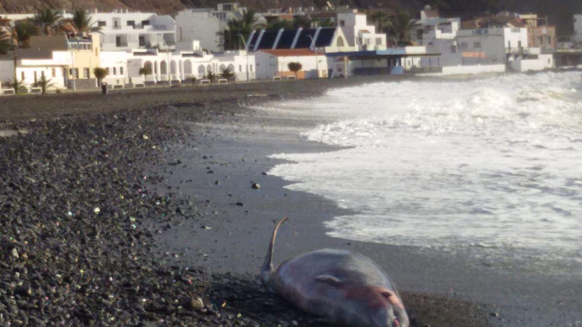 El zifio muerto, en la playa de Giniginamar, en el municipio de Tuineje.