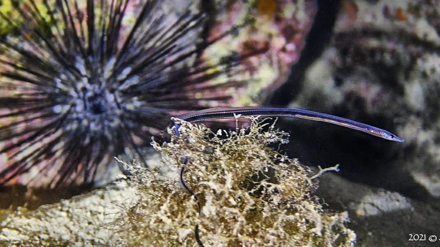 Nuevas especies durante la noche en los fondos marinos de Arrecife