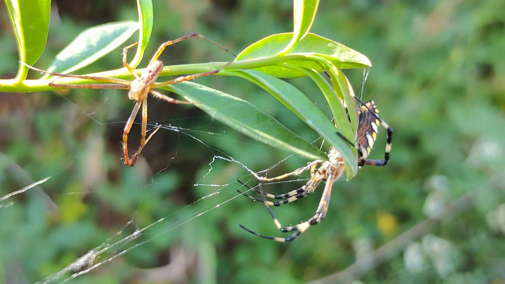 Dues aranyes diferents a la mateixa branca.