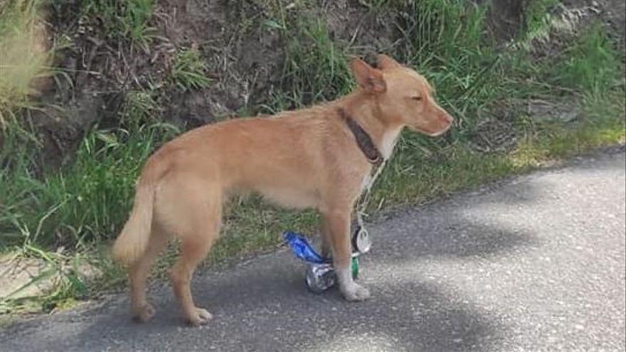Un perro deambula por Pontevedra más de 24 horas con latas colgadas del collar
