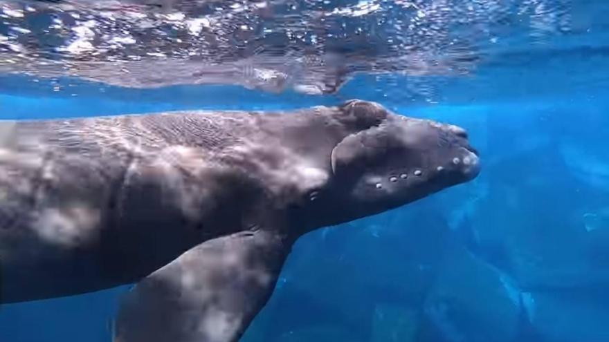 Avistada una ballena franca recién nacida en El Hierro