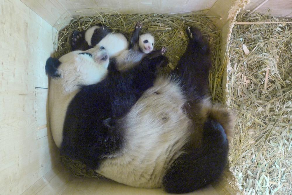 El zoo de Viena (Àustria) i el de Nyiregyhaza (Hongria) han donat la benvinguda a dues cries d''ós panda i una de lleó sud-africà, respectivament.