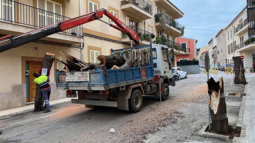 Polémica por la tala de todos los árboles de una calle de Alaró