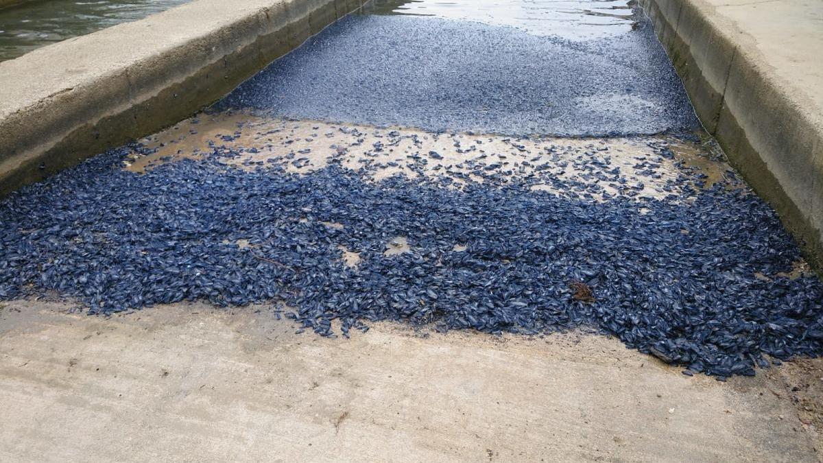 Invasion blauer Segelquallen in Cala Figuera