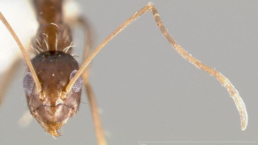 La 'hormiga loca': llega otra especie invasora a España