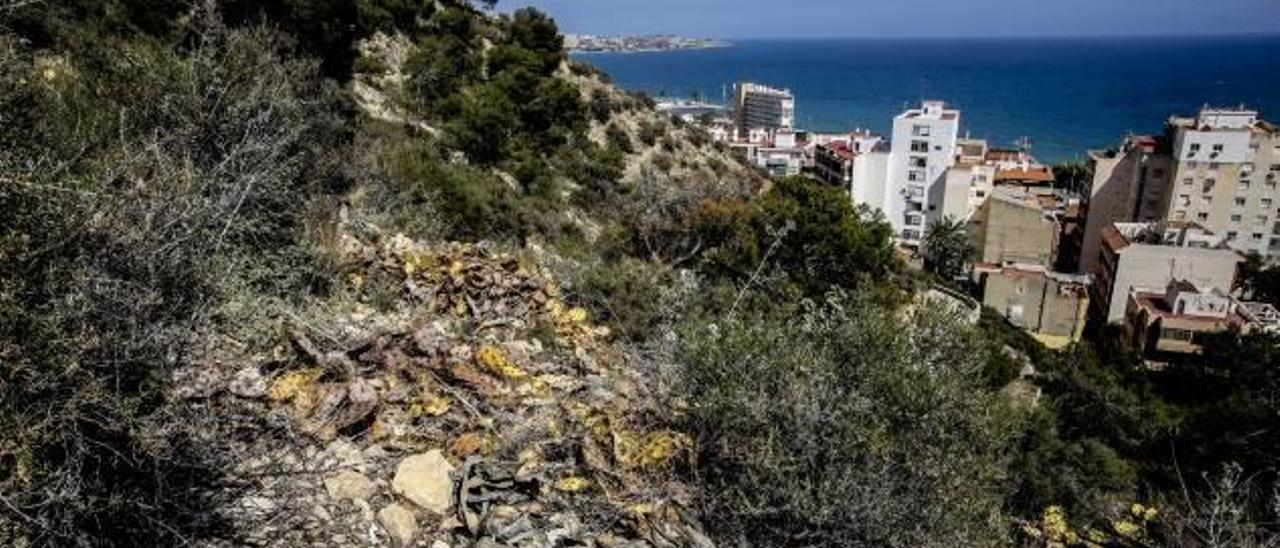 Chumberas secas en la ladera del monte Benacantil.