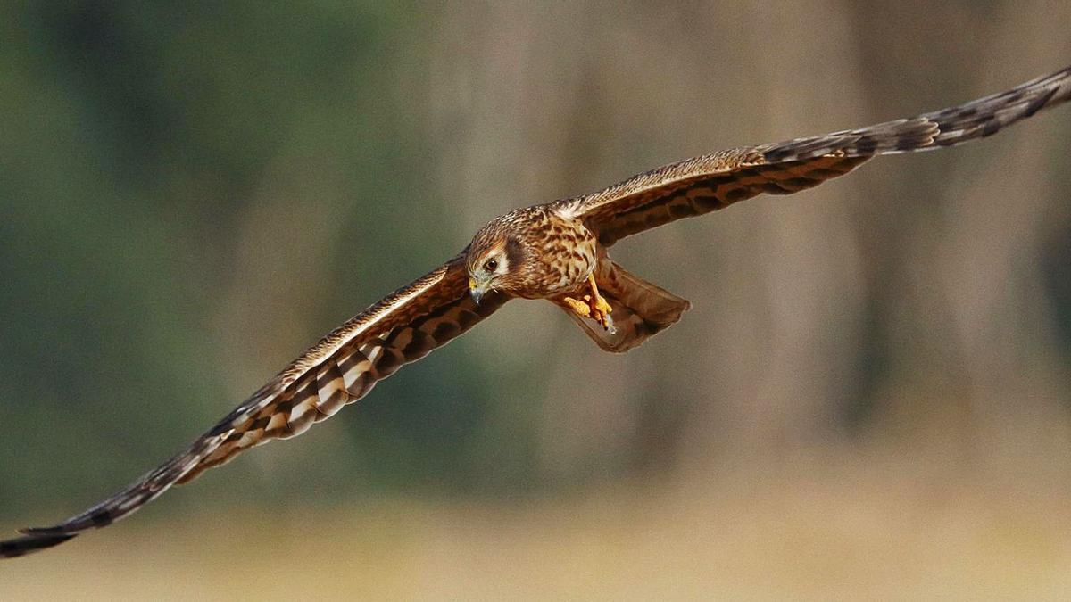 Un aguilucho cenizo en pleno vuelo.