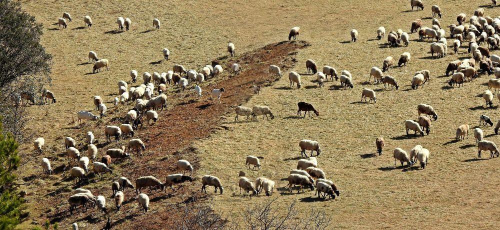 A pasturar. A Sant Llorenç de Morunys, un dia de matinada i bon temps, aquestes ovelles pasturaven pels termes de la vall