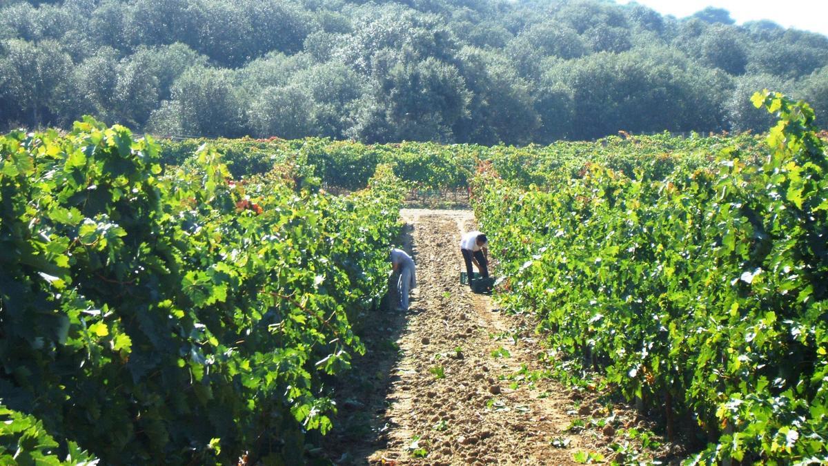 Temporeros recolectan uva en una parcela de viñedo de la DO Toro