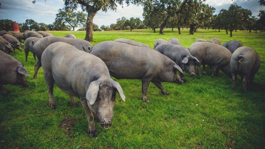 La granja La Romana de Pozoblanco consigue dos de los premios al cerdo ibérico del certamen Porc d'Or