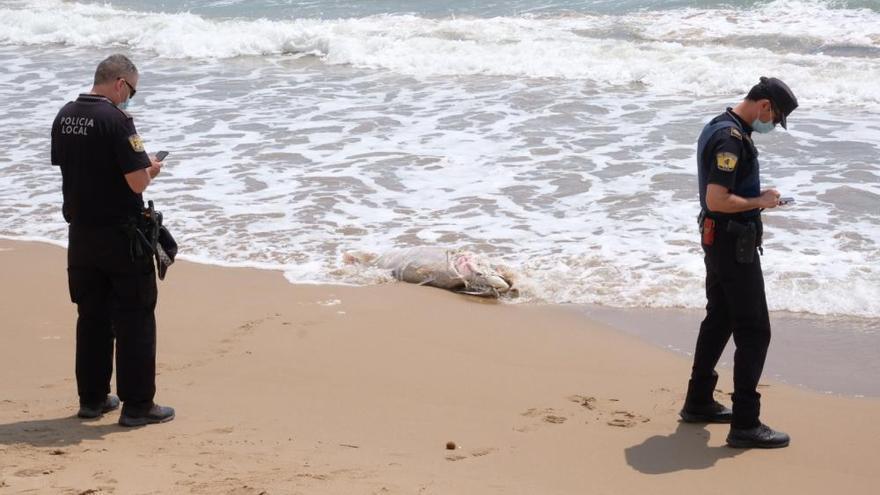 Aparece un atún muerto de unos 40 kilos en la orilla de la playa de El Pinet en Elche