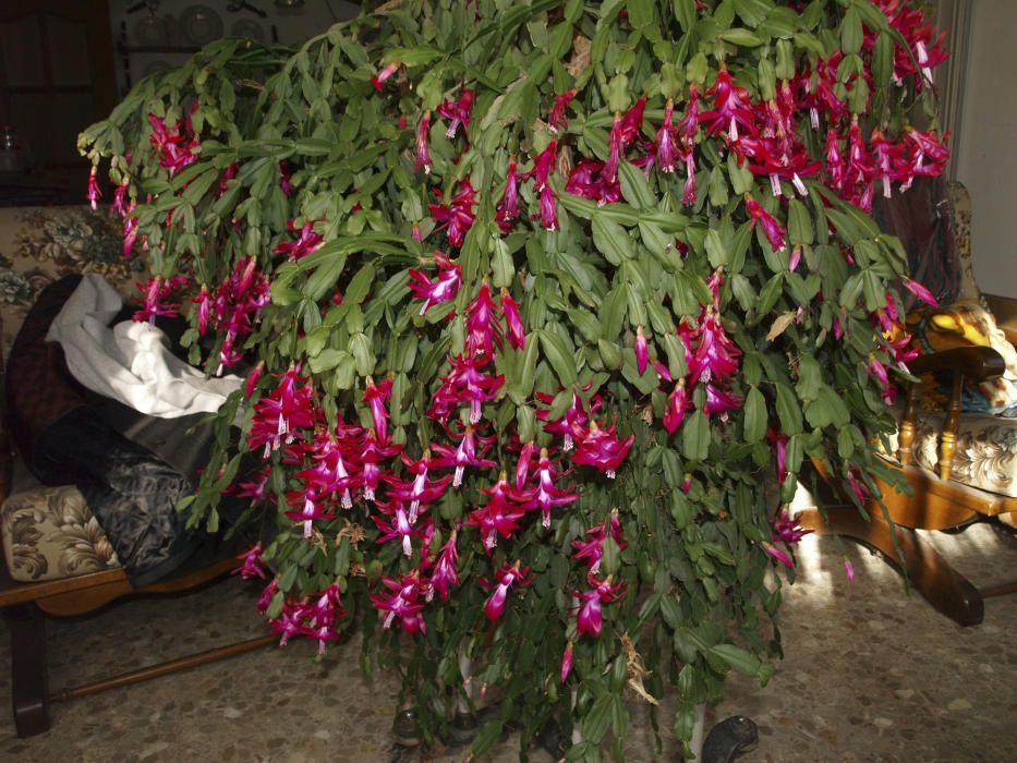 Cactus de Nadal. Està emparentat amb el cactus de Pasqua, i floreix intensament durant els mesos hivernals i coincidint amb Nadal. És una planta que florida fa molt goig, les seves flors poden ser de diferents colors.