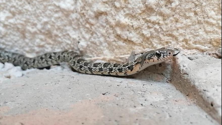 Sanidad agradece a Naturactúa que haya rescatado a dos serpientes de herradura esta semana