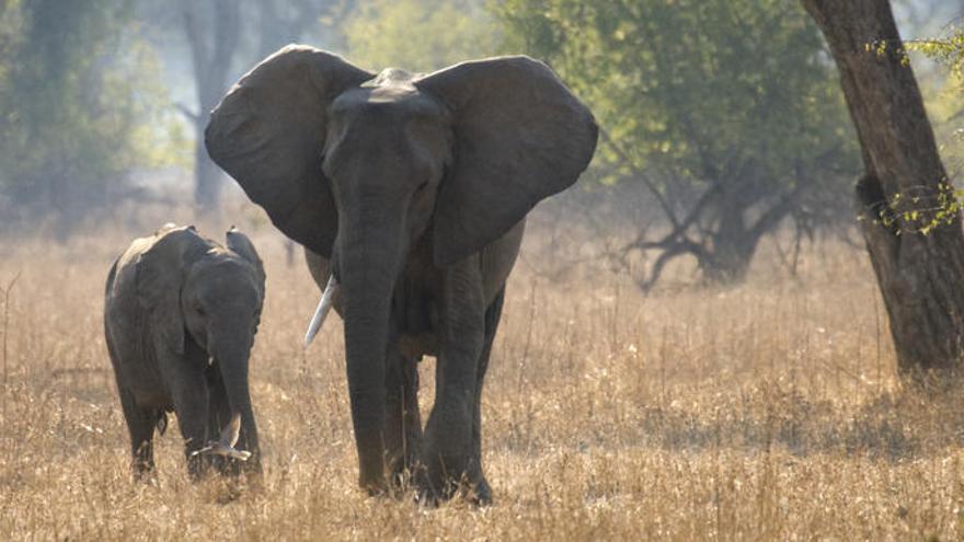 Dos turistas mueren aplastados por un elefante en Zambia cuando hacían fotos