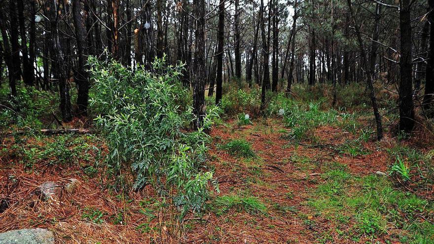 Acacia negra, la amenaza que llegó de Australia