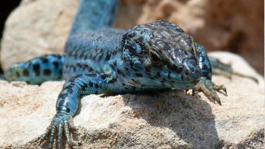 La lagartija de Ibiza, especie única en el mundo, amenazada por culebras invasoras
