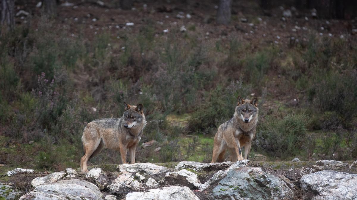 Lobos en semicautividad en el Centro del Lobo en Sanabria