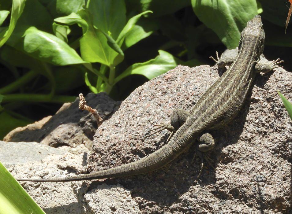 Llangardaix. Un llangardaix negre (Gallotia galloti) en una paret de roques, el seu hàbitat preferit, al petit poble de Masca, a l'illa de Tenerife. Aquesta espècie endèmica només es troba en aquesta illa i a la de La Palma.