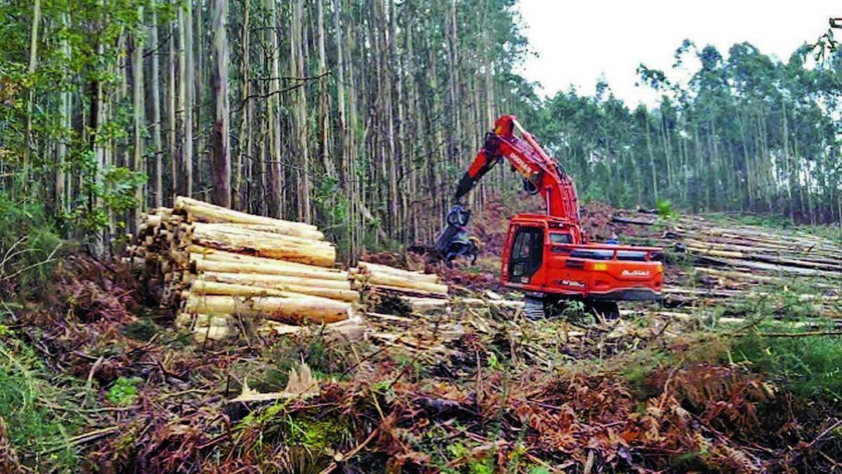 Recogida de madera en una plantación de eucaliptos.