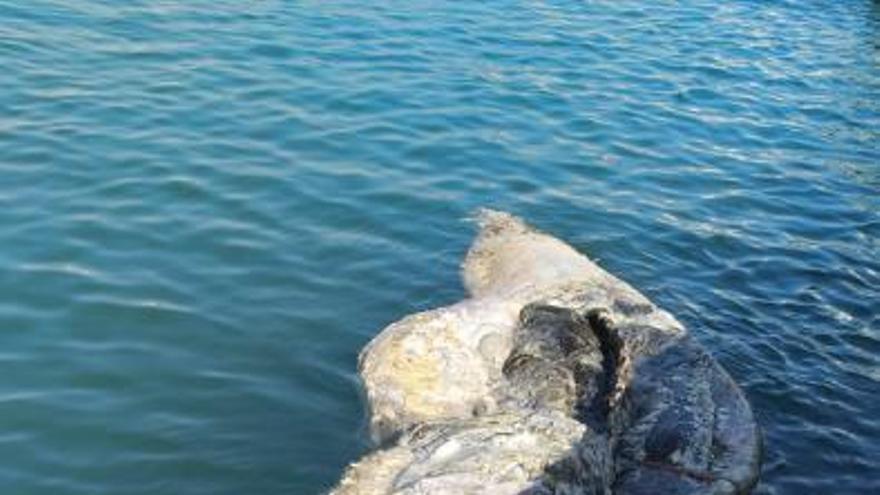 Cachalote en descomposición que ha sido remolcado hasta el muelle de la Sal de Torrevieja