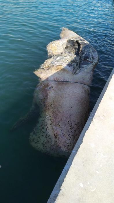 Imágenes del cachalote en descomposición que ha sido remolcado hasta el muelle de la Sal en Torrevija