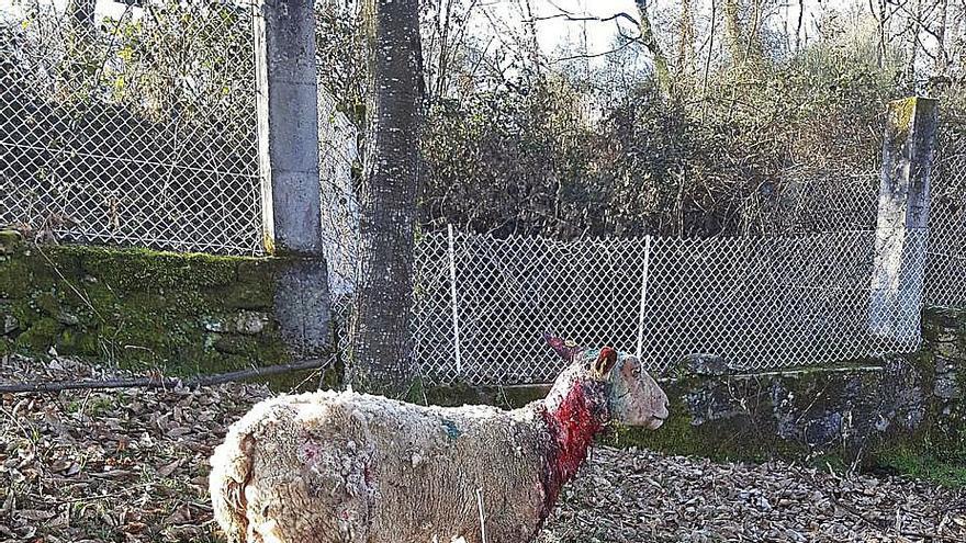 Prohibido cazar lobos y sin ayudas para compensar a los ganaderos