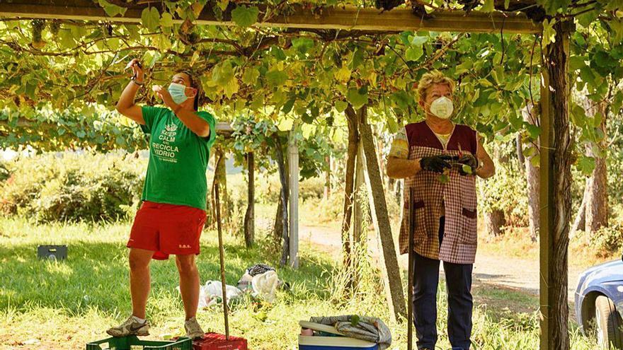 La elevada demanda de uva albariña facilita precios de hasta 1,50 euros el kilo