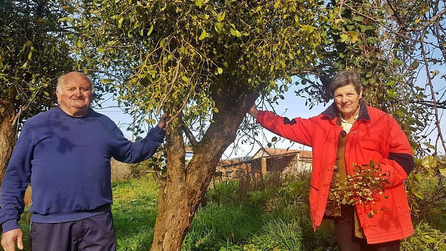El muérdago: de plaga a negocio al alza en Asturias por Navidad