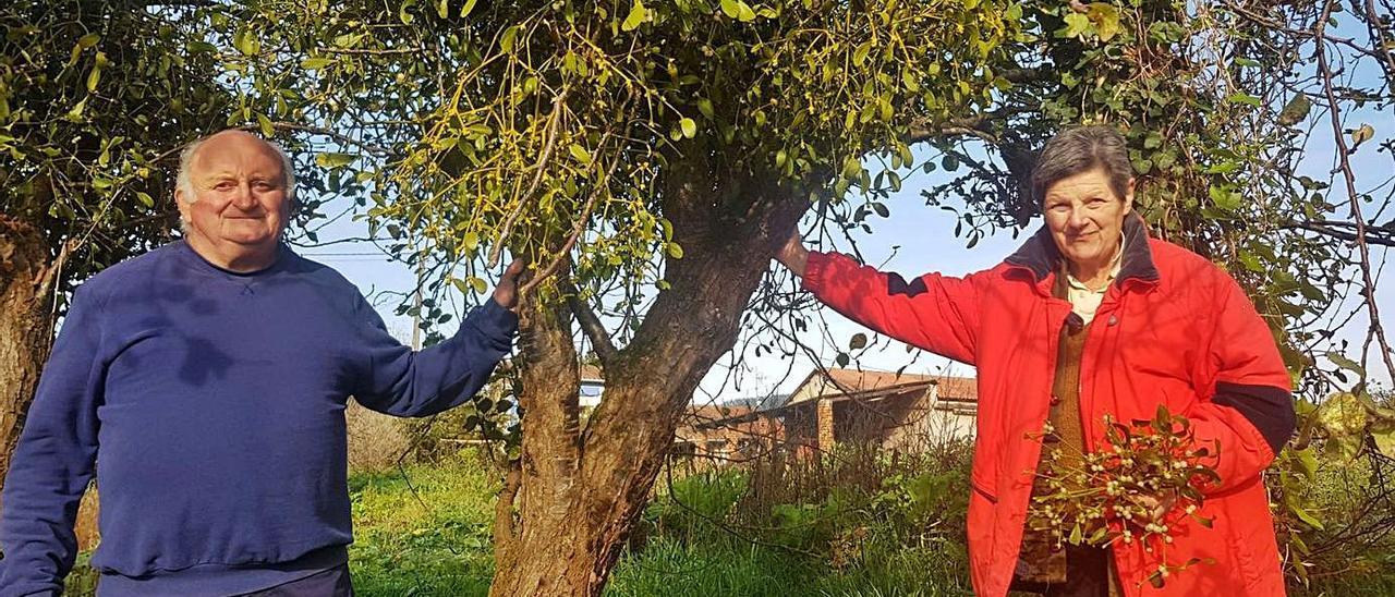 Árbol de acebo con sus frutos en el parque de las Ubiñas. | M. Riera