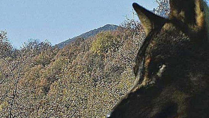 Un lobo permanece atento y escrutador al entorno.