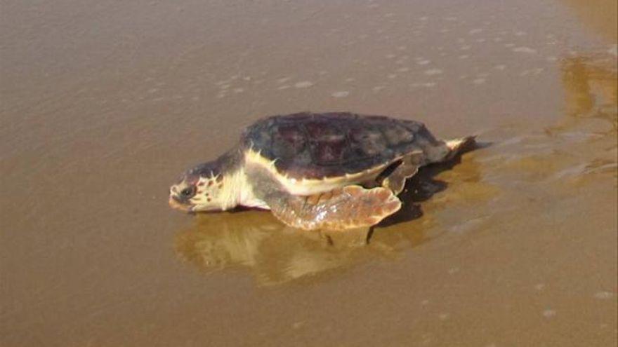 ¿Qué hago si me encuentro una tortuga boba en la playa?