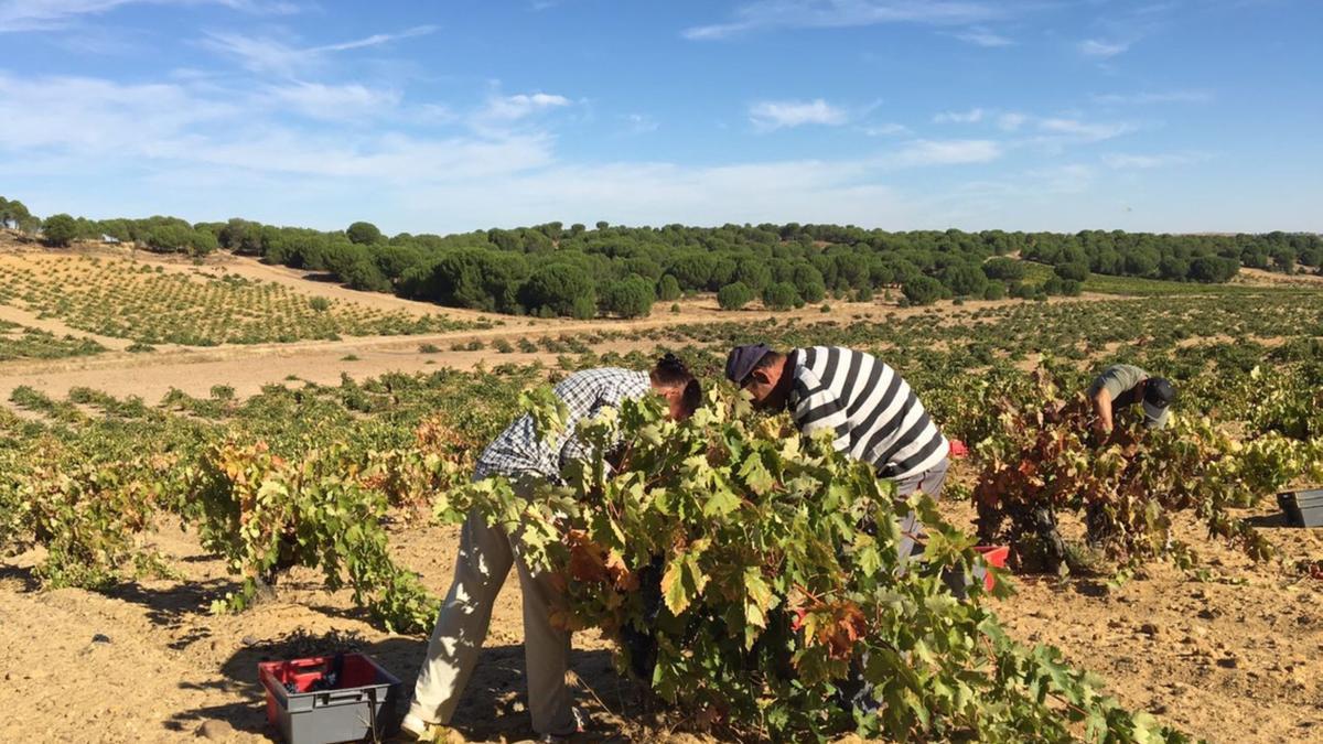 Dos vendimiadores en una viña de la denominación de origen Toro