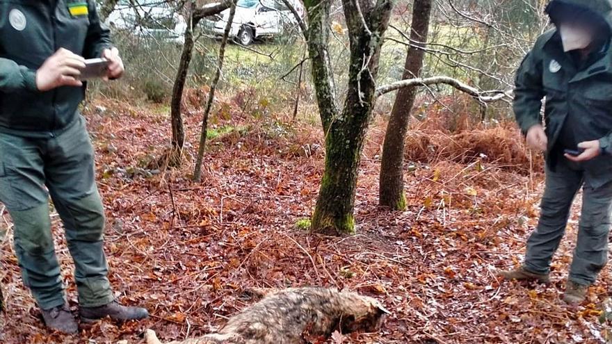 Investigan si la muerte de un lobo en Tabeirós coincidió con una batida de jabalí