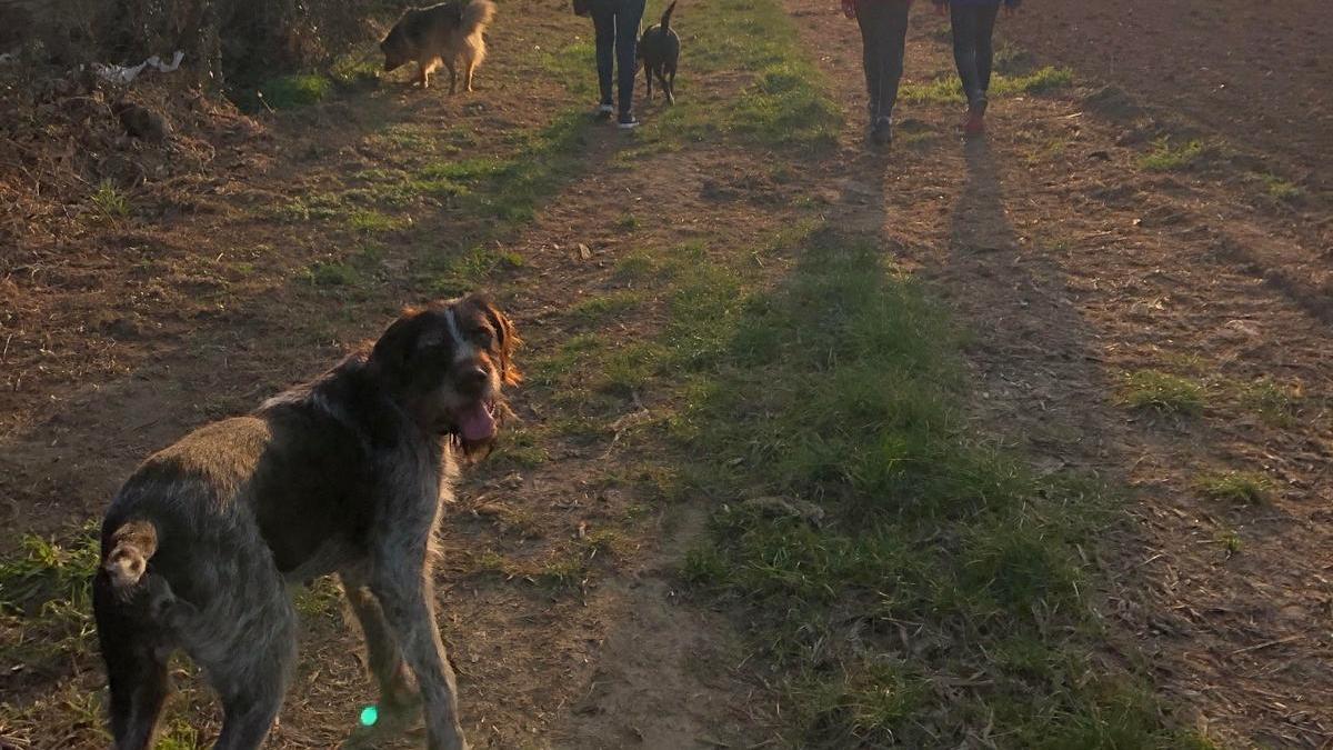 Les protectores esperen recuperar els passejos amb els voluntaris pel bé dels animals.