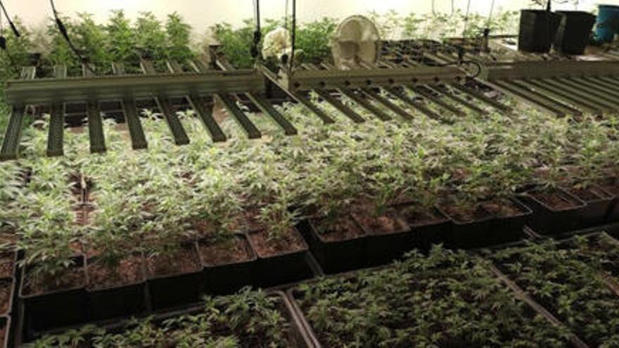 Detinguts tres homes que cultivaven prop de 600 plantes de marihuana en el soterrani